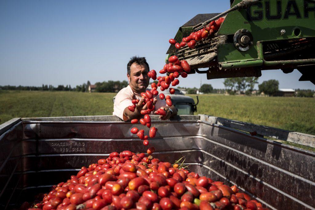 Tomaattisadonkorjuu