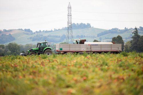 Koe tomaattisadonkorjuu Italiassa